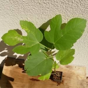Ficus carica 'Scone', Pogácsa füge, fagytűrés -18 fok