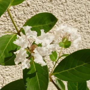 Lagerstroemia indica 'Acoma', fehér virágú selyemmirtusz, fagytűrés -21 fok