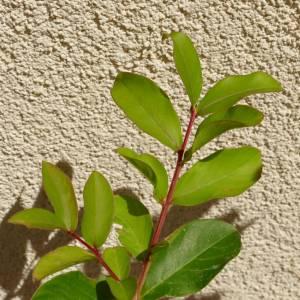 Lagerstroemia indica 'Calroline Beauty', piros virágú selyemmirtusz, fagytűrés -21 fok