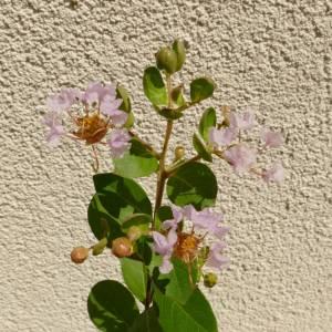 Lagerstroemia indica 'Petite Orchid', halvány rózsaszín virágú selyemmirtusz, fagytűrés -21 fok