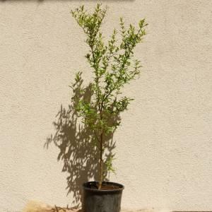 Punica granatum 'Persien', gránátalma, fagytűrés -18 fok